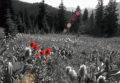 Ec Manning Park's Alpine Meadow Indian Paint Brush