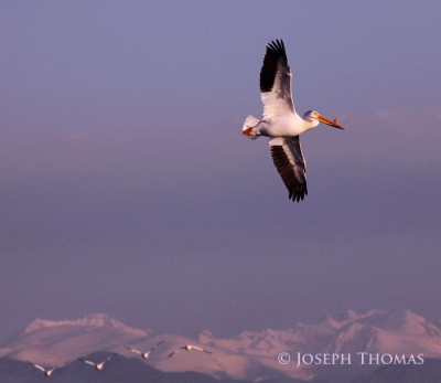 White Pelican Over The Rockies