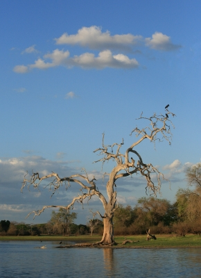 Selous Crocodile Tree