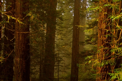 Misty Redwood Forest