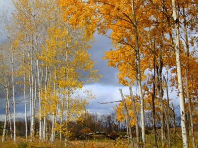 Golden Aspens And Gray Sky