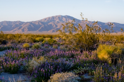 Spring Wildflowers, Joshua Tree Np