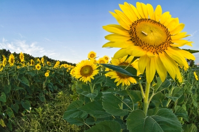 Sunflowers-wide Angle