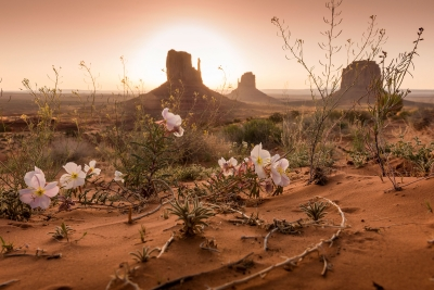 Monument Valley Flowers