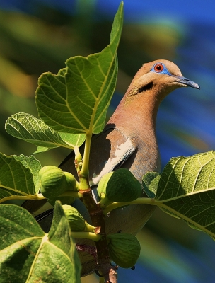 Dove And Figs