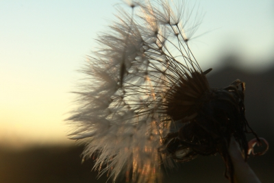 Img_5149 Dandelion At Sunset