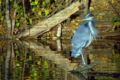 Great Blue Heron At Mk Nature Center
