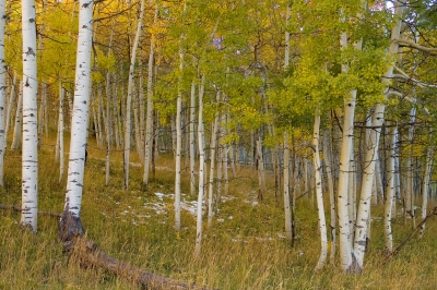 Deep Into The Aspen Forest