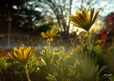 Flowers At Sunset