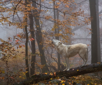 Wolf Howling In Autumn Woods