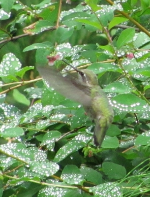 Hummingbird With Water Droplets