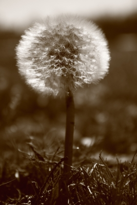 Back Lit Dandelion In Sepia