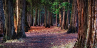 A Path Of Redwoods