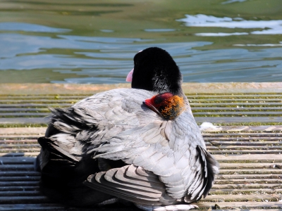 Mother Coot Shelters Her Chick