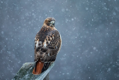 Red-tail In Snow