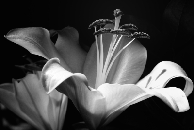Lily Blossom Black And White