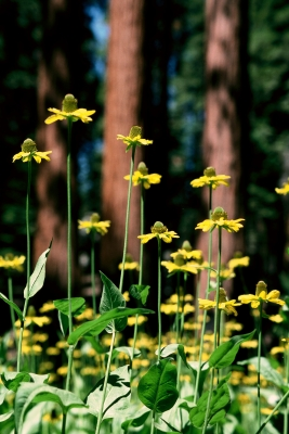 Wildflowers And Sequoia Trees