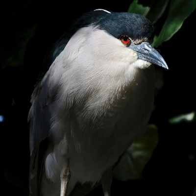 Black-crowned Night Heron Sitting In The Tree