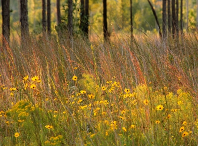 Savanna Wildflowers
