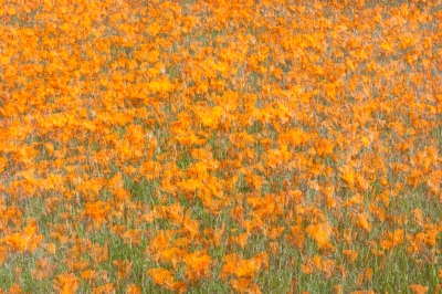 Wind Blown California Poppies