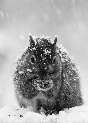 Gray Squirrel Foraging In Winter