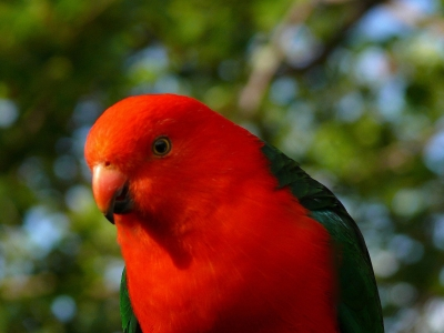 A Male King Parrot In The Blue Mountains West Of Sydney