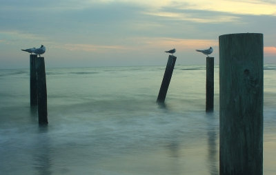 Greater Crested Tern's On Old Pier