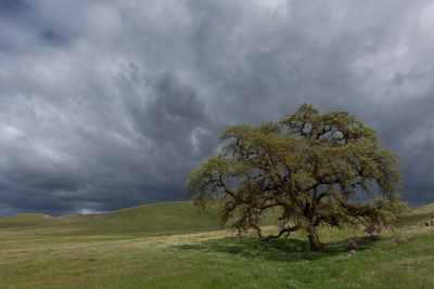 Blue Oak And Spring Storm, Sierra Foothills