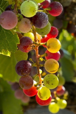 Wine Grapes Ripening
