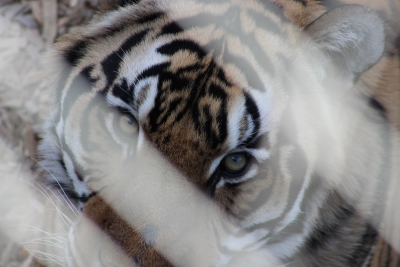 Tiger Face Through The Lines
