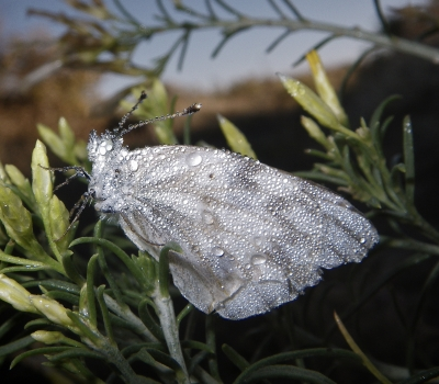 Dew Covered Moth