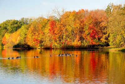 Geese And Fall Color