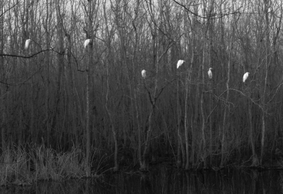 Egrets Ghosts