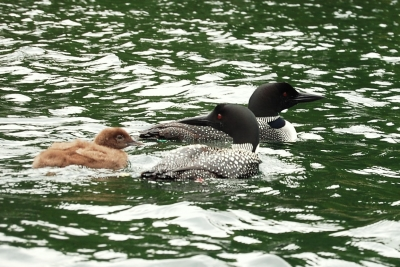 Mama Loon And Baby