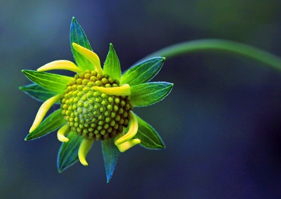 Young Wild Sunflower