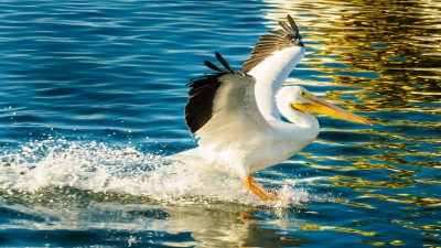 Perfect Landing By Migrating White Pelican
