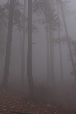 Fog In The Forest
