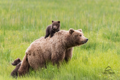 Brown Bear Mother And Cubs