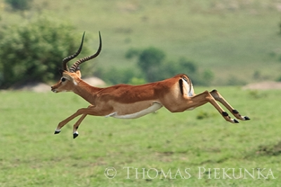Flying Gazelle