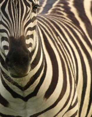 Ez The Zebra