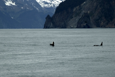 Orcas In The Bay