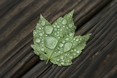 Maple Leaf – Rain Drops