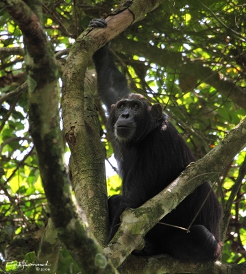 Chimps Of The Budongo Rain Forest