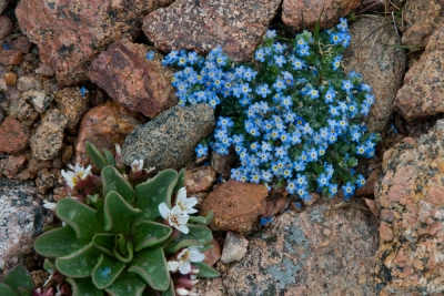 Alpine Forget-me-not & Alpine Spring Beauty Flowers
