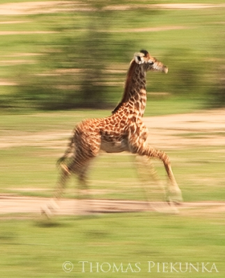 Young Giraffe On The Run