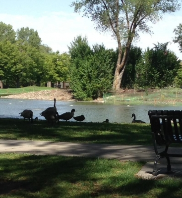 Geese Picnicking At The Park