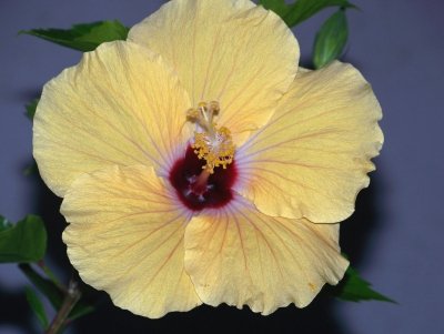 A Touch Of Sun – Yellow Hibiscus
