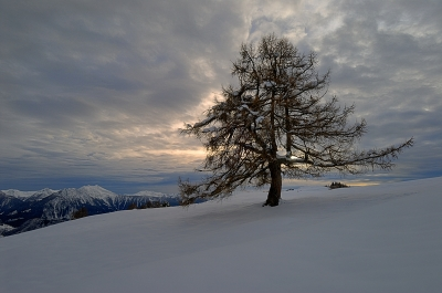 The Lone Larch Of The Alpe Granda (the Large Alp)