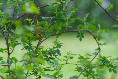 Wilson's Warbler Passing Through