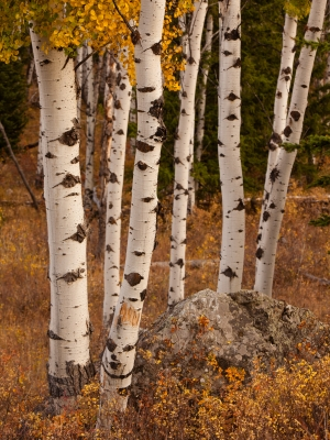Aspens In Fall Color
